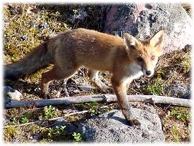 Surt sa räven om rönnbären fabel